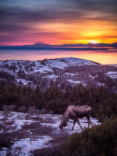 Moose and Sunset