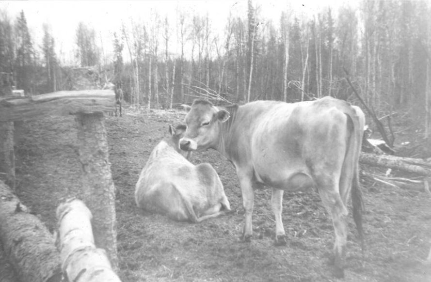 Susitna-range-Cattle-3