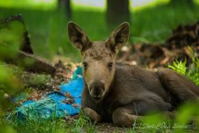 Super cute moose calf in Eagle River! Photo by 907Shots https://www.facebook.com/pages/907Shots/231885440226299?fref=ts